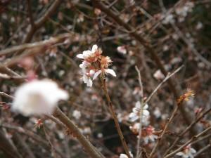 小原村名物の四季桜。正月まで花を咲かせる