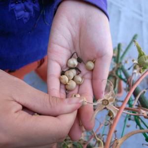 採れるものからアサガオの種を収穫