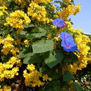 不自由者棟の傍らで満開の花は昨年も見た。