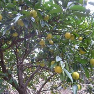 収穫を待つ柑橘系。